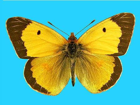 Specimen number 500861 - upperside