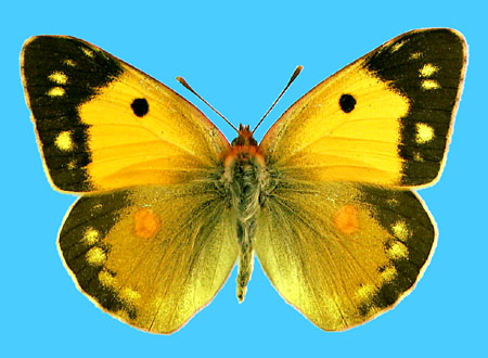 Specimen number 500862 - upperside