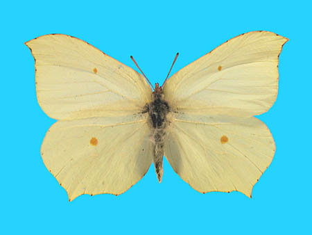 Specimen number 500906 - upperside