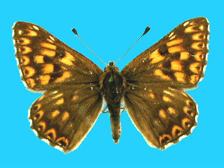 Specimen number 500918 - upperside