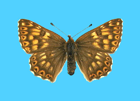 Specimen number 500919 - upperside