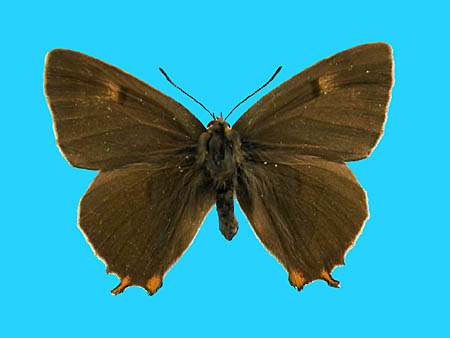 Specimen number 500987 - upperside
