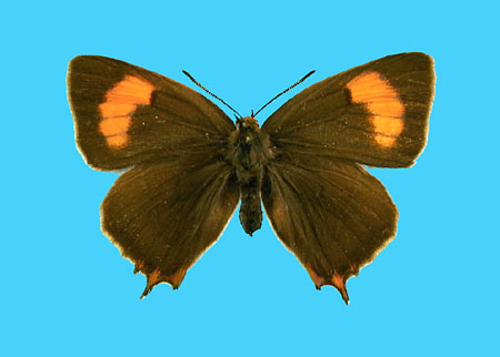 Specimen number 500988 - upperside