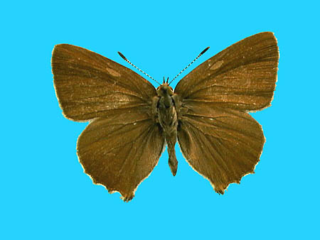 Specimen number 501023 - upperside
