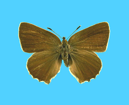 Specimen number 501025 - upperside