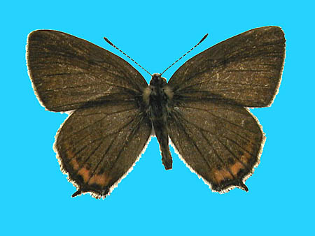 Specimen number 501047 - upperside
