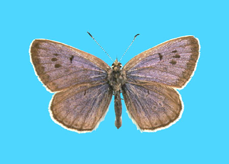 Specimen number 501097 - upperside