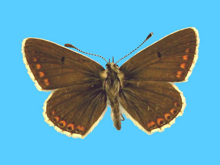 Specimen number 501249 - upperside