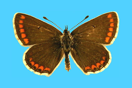 Specimen number 501251 - upperside