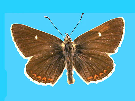 Specimen number 501288 - upperside