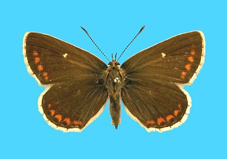 Specimen number 501290 - upperside