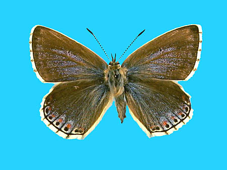 Specimen number 501412 - upperside