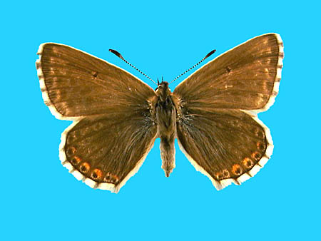 Specimen number 501469 - upperside