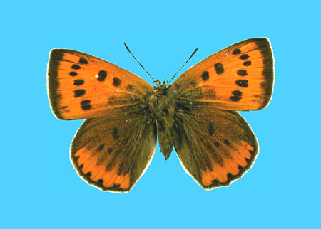 Specimen number 501752 - upperside