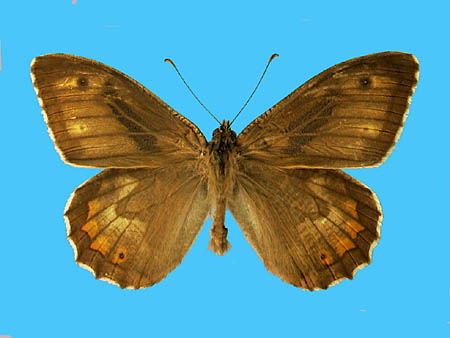 Specimen number 502032 - upperside