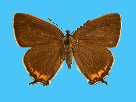 Specimen number 502480 - upperside