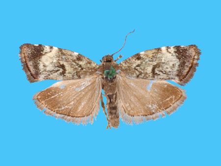 Specimen number 955897 - upperside