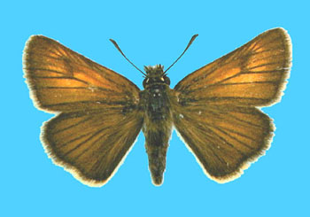 Female upperside