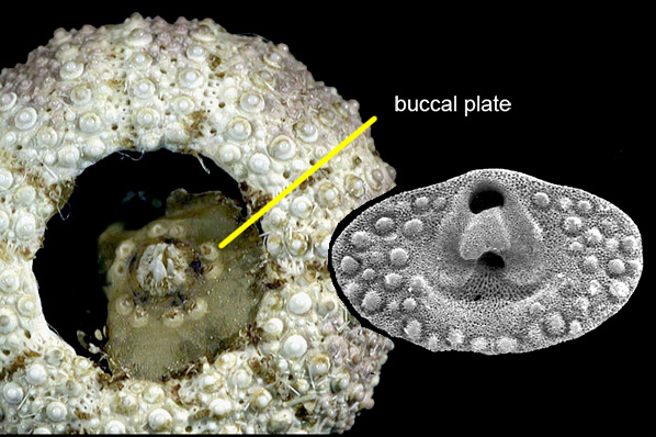 buccal plates