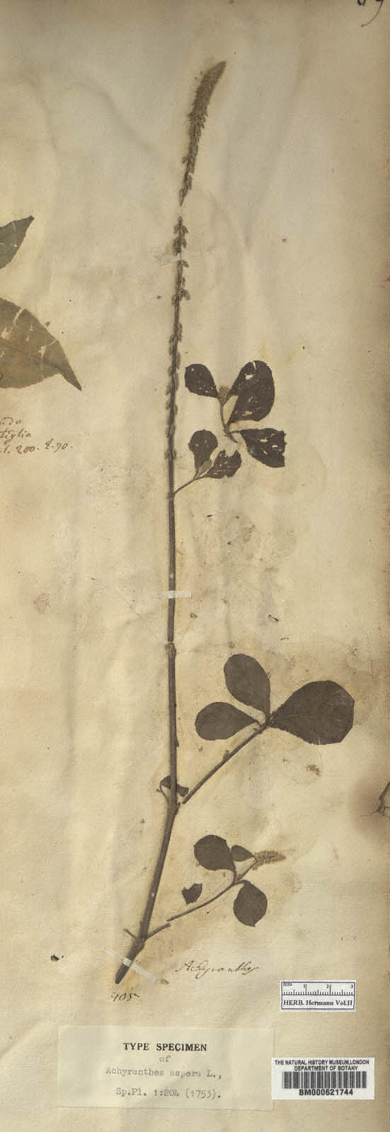 http://www.nhm.ac.uk//resources/research-curation/projects/hermann-herbarium/lgimages/BM000621744.JPG