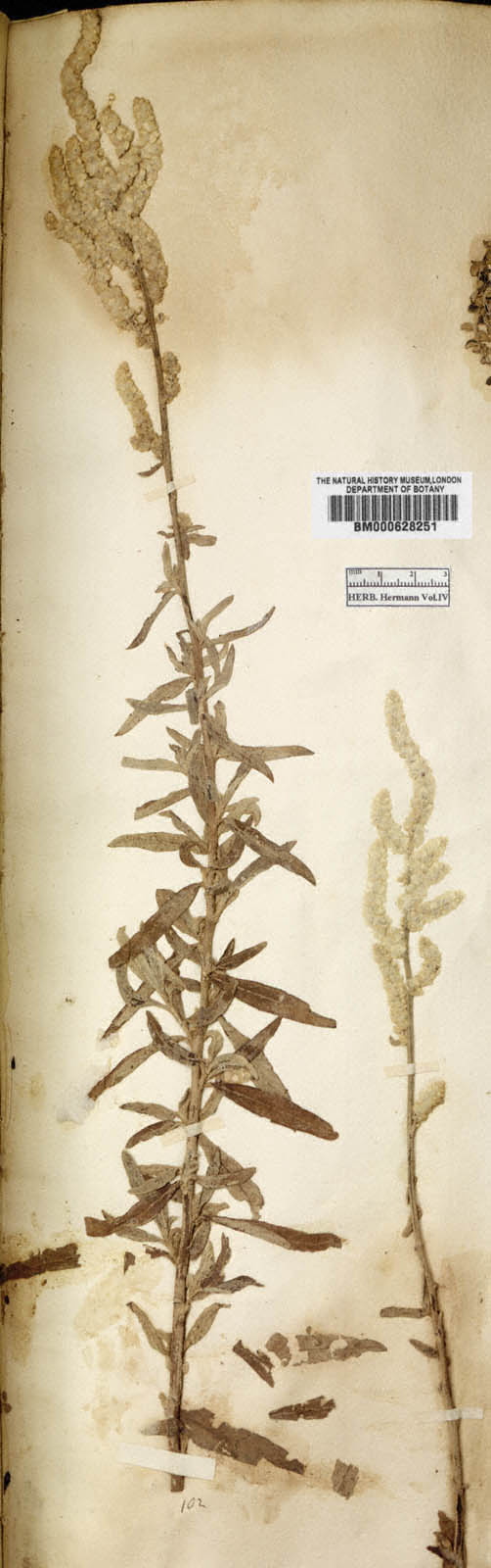 http://www.nhm.ac.uk//resources/research-curation/projects/hermann-herbarium/lgimages/BM000628251.JPG