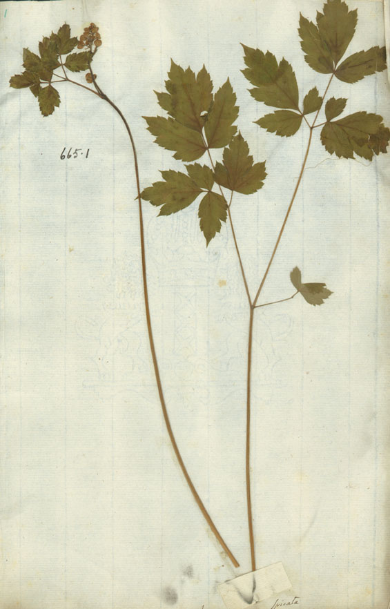 http://www.nhm.ac.uk/resources/research-curation/projects/linnaean-typification/lgimages/HL665.1.JPG