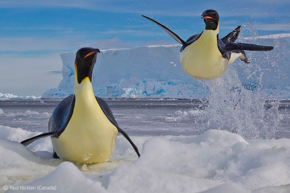 Frozen moment by Paul Nicklen (Canada) - Behaviour: Birds (Winner)
