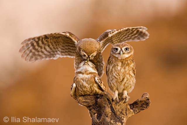 Little owls on top