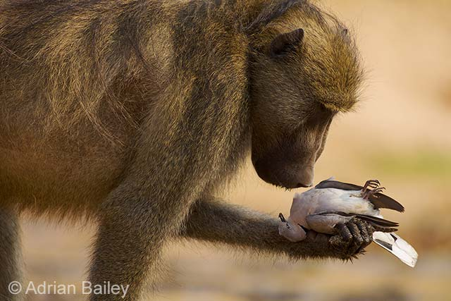 The thoughtful baboon