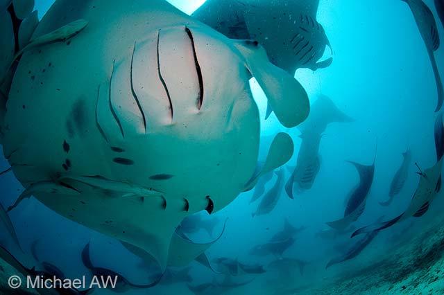 Manta-ray feast