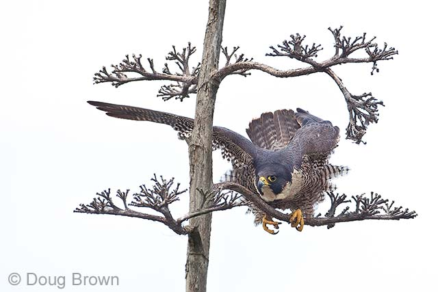 Peregrine perch