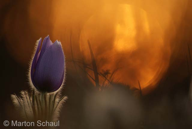 Pasque flower at sunset