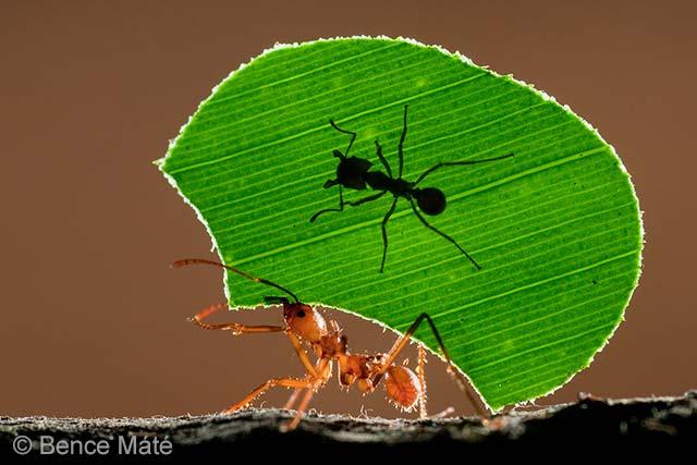 Ant rider