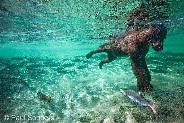 Salmon swipe