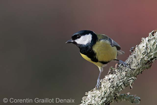 Great tit poised