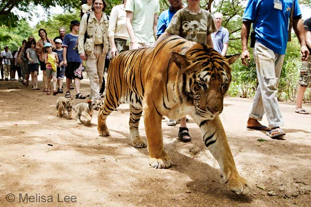 The tourist tiger trail