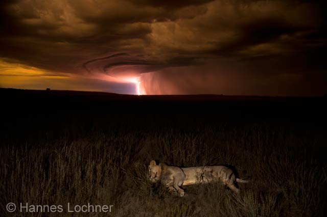 Lion by lightning