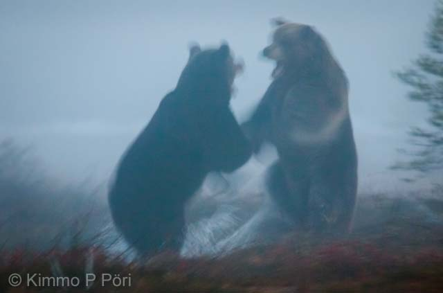 Ghost bears
