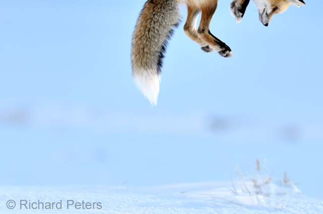 Snow pounce