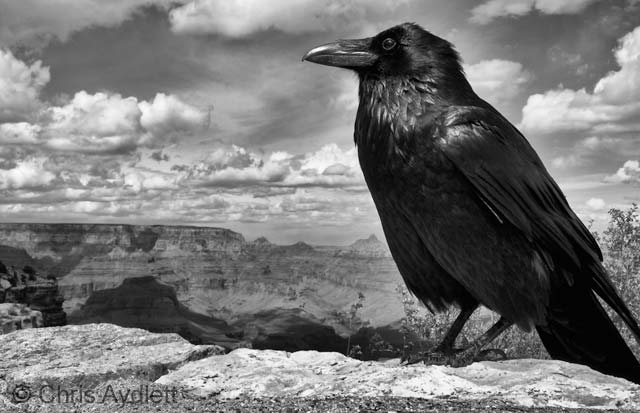 Grand raven