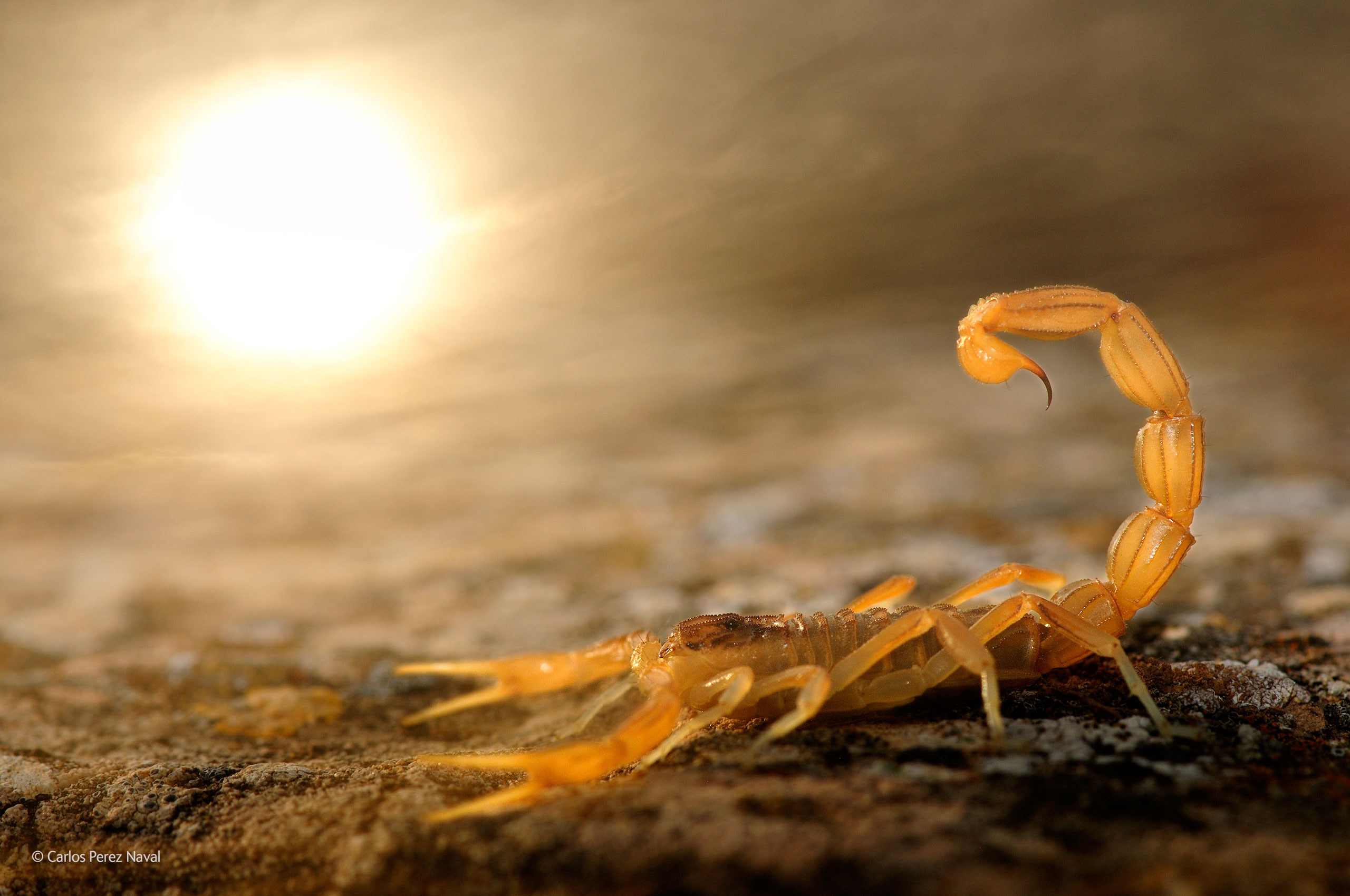 Wildlife Photographer Of The Year Stinger in the sun