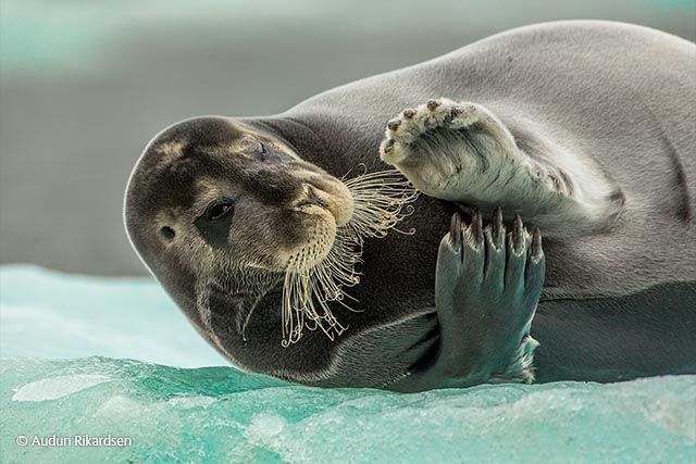 Flirting bearded seal