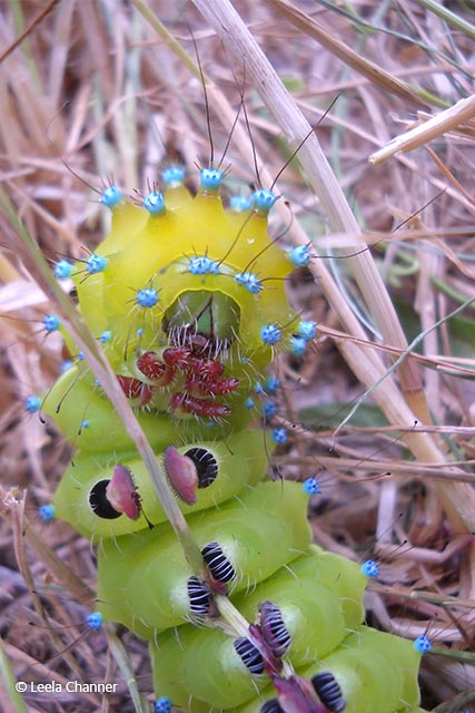 Great peacock moth caterpillar