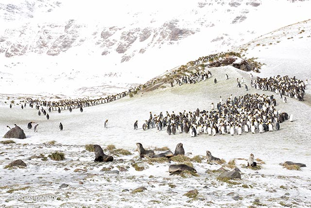 King penguins and fur seals