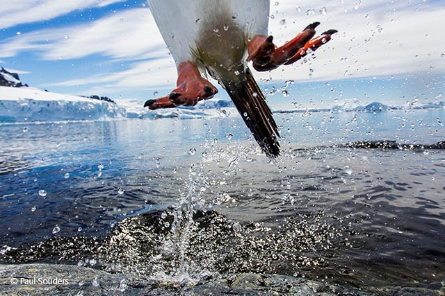 Leaping gentoo penguin