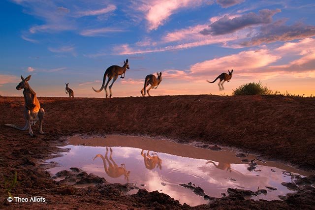 Red kangaroos at waterhole