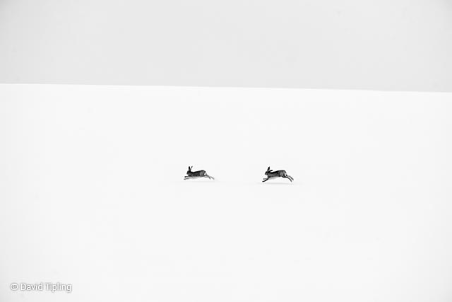 Winter hares