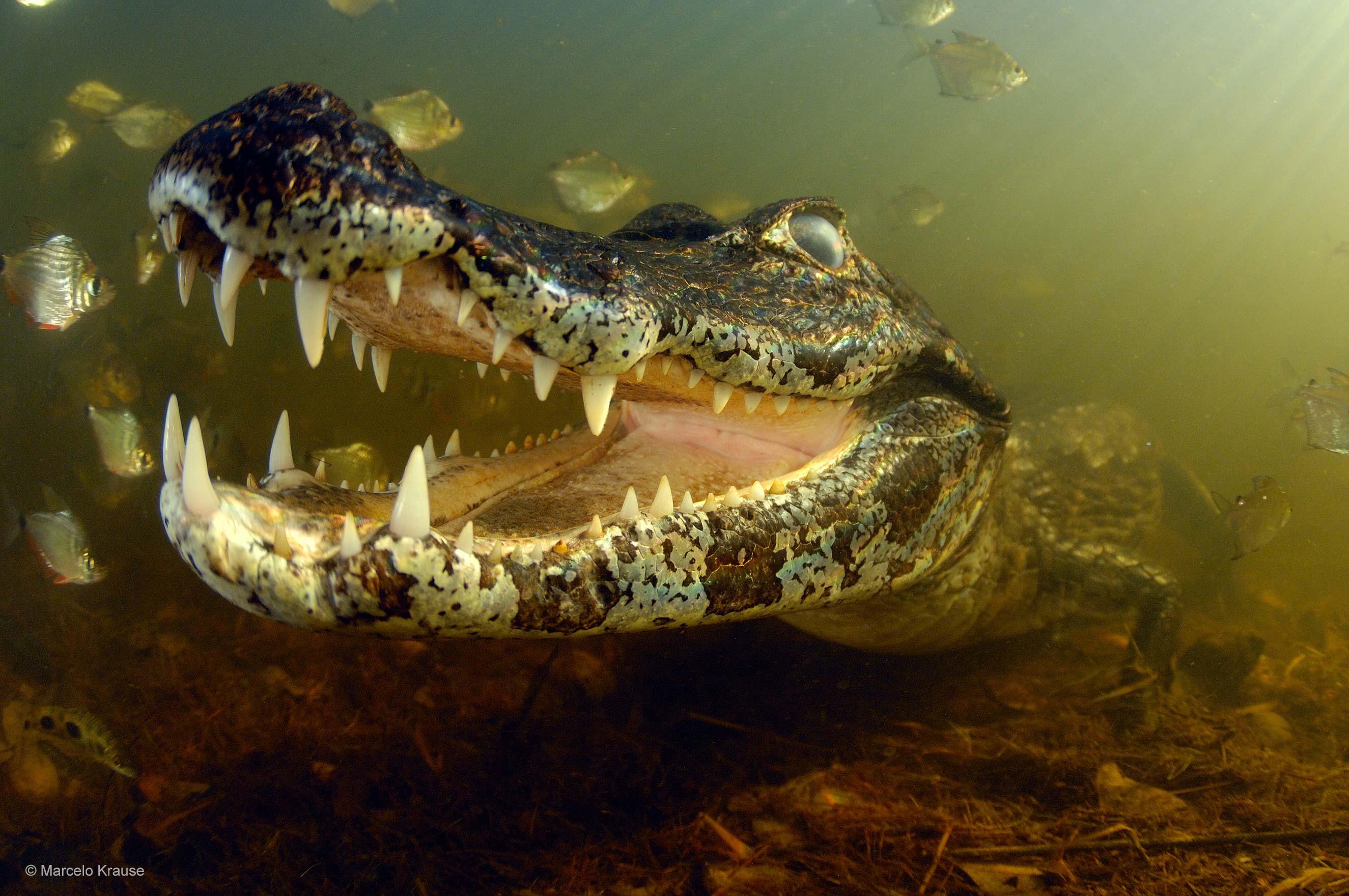 the piranha-eater | marcelo krause | underwater worlds | wildlife