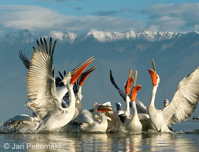 Pelican pack