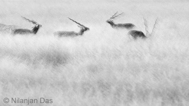 Emerging blackbuck